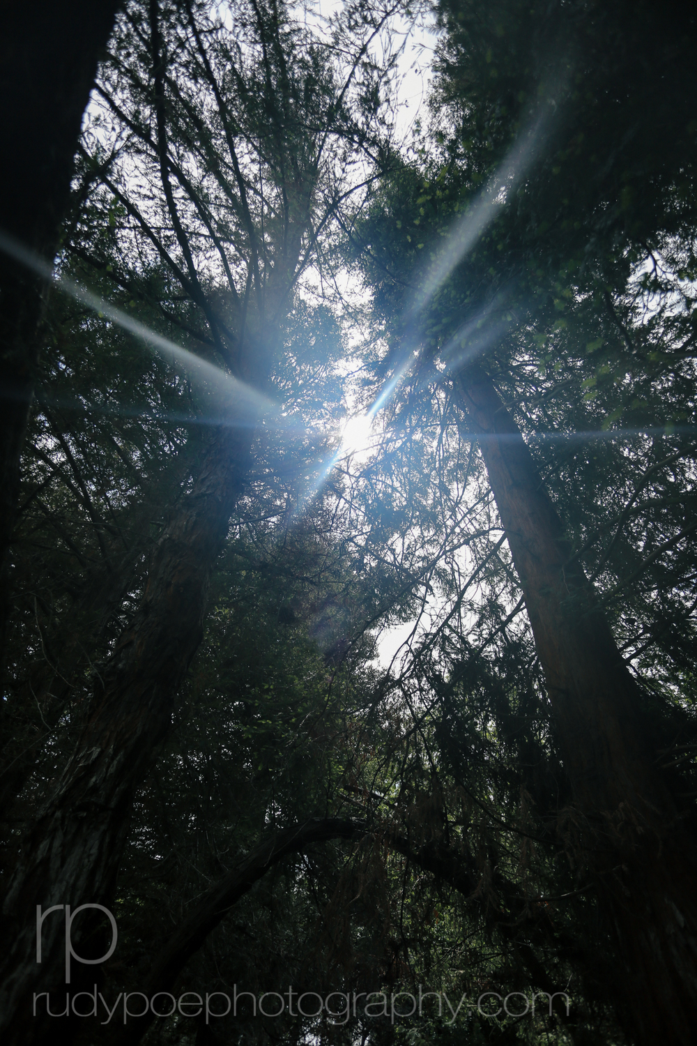 Redwood Sunlight