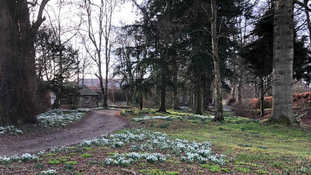 The snowdrops were spectacular this year
