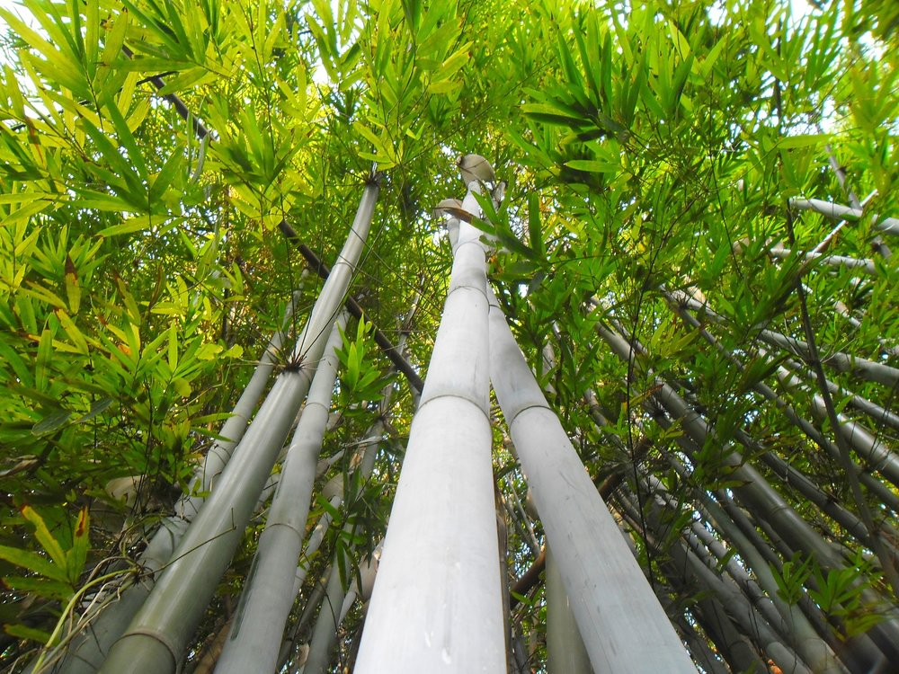 Learn the Facts About Bamboo -