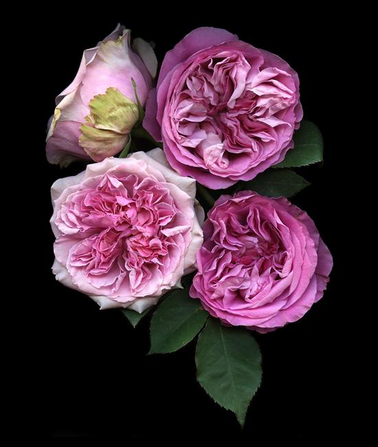vogue-pink-david-austin-kate-scott-.png
