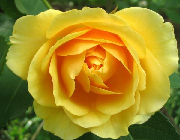 graham-thomas-rose-closeup.jpg