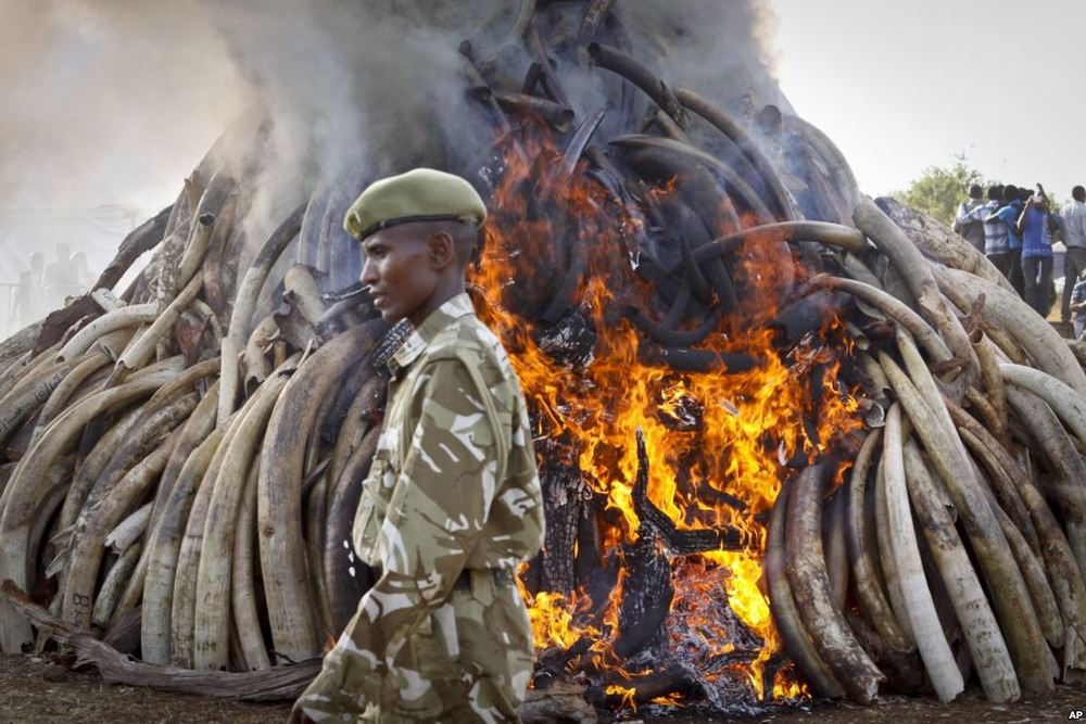 KENYA'S MARCH 2015 BURNING OF 15 TONS OF IVORY.