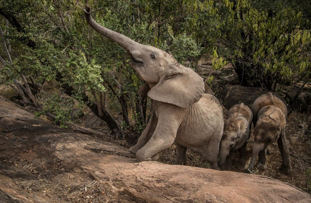 Shaba, now nearly two years old, is the proxy matriarch of the younger Reteti orphans, teaching them how to forage in the wild. Under the eye of caretakers, she leads her small herd into the bush outside the sanctuary, stripping leaves, tasting bark, pushing down small trees, taking mud baths.  Image by  Ami Vitale for National Geographic.
