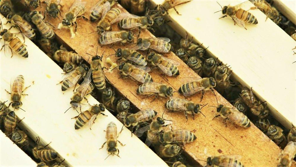 honeybees in Africa 1-10-19.jpg