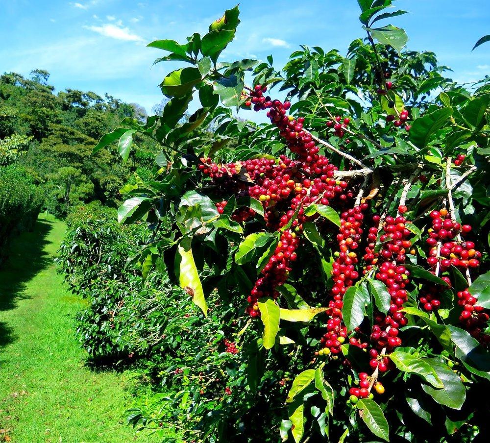 beans-on-tree.jpg