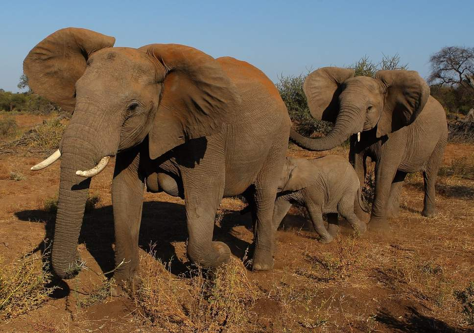 Botswana could lift hunting ban and let tourists shoot elephants. via  The Indepedent London