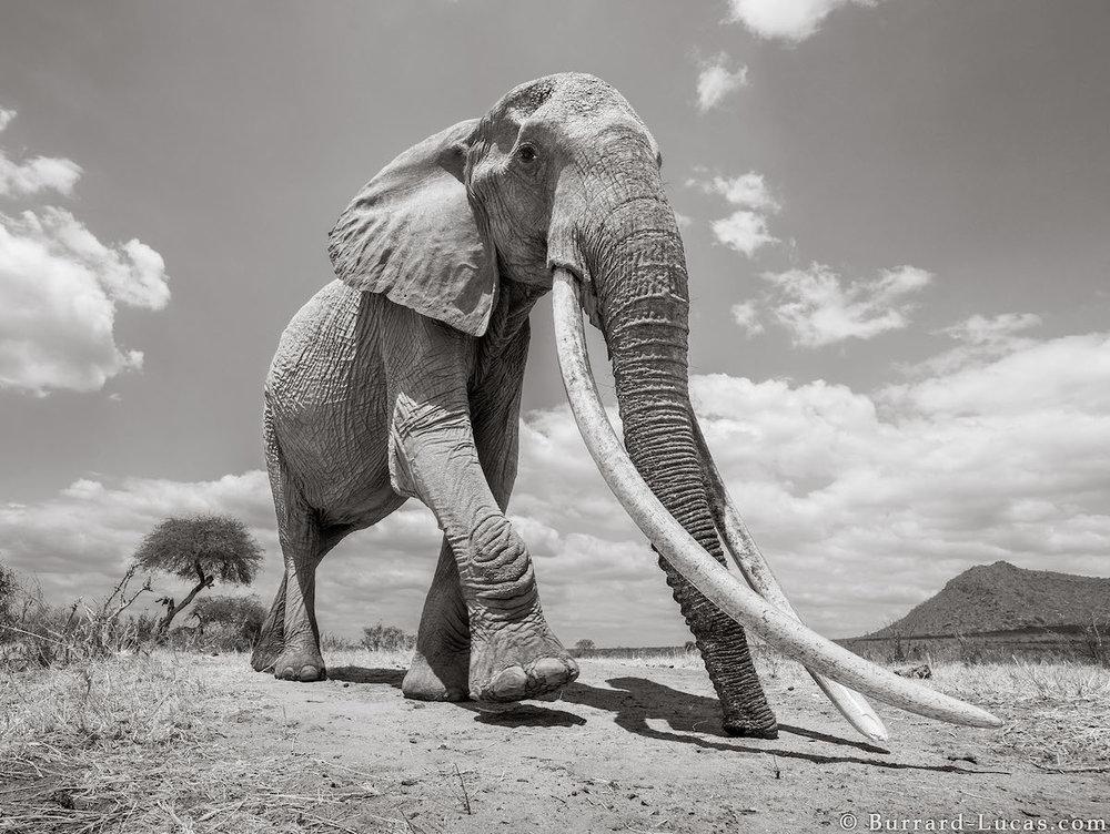 will-burrard-lucas-elephant-queen-land-of-giants-book- (2).jpg