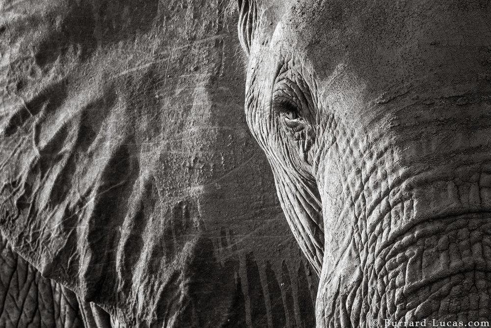 will-burrard-lucas-elephant-queen-land-of-giants-book- (1).jpg