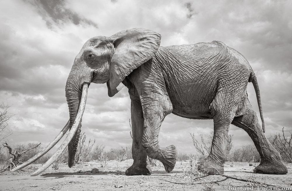 will-burrard-lucas-elephant-queen-land-of-giants-book- (3).jpg