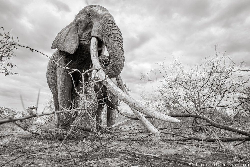 will-burrard-lucas-elephant-queen-land-of-giants-book- (4).jpg