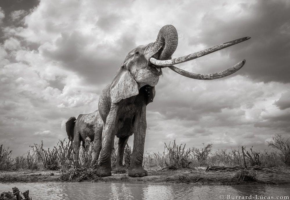 will-burrard-lucas-elephant-queen-land-of-giants-book- (6).jpg
