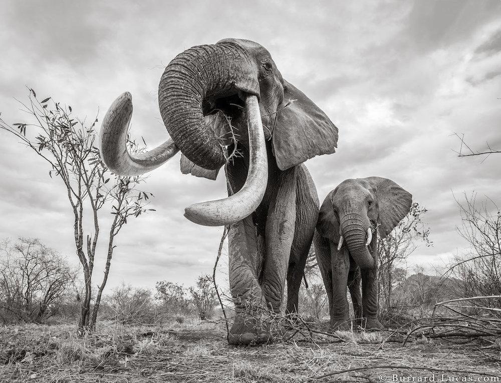 will-burrard-lucas-elephant-queen-land-of-giants-book- (5).jpg
