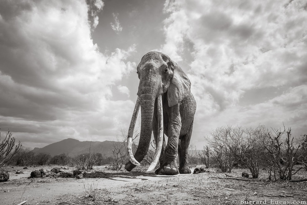 will-burrard-lucas-elephant-queen-land-of-giants-book- (7).jpg