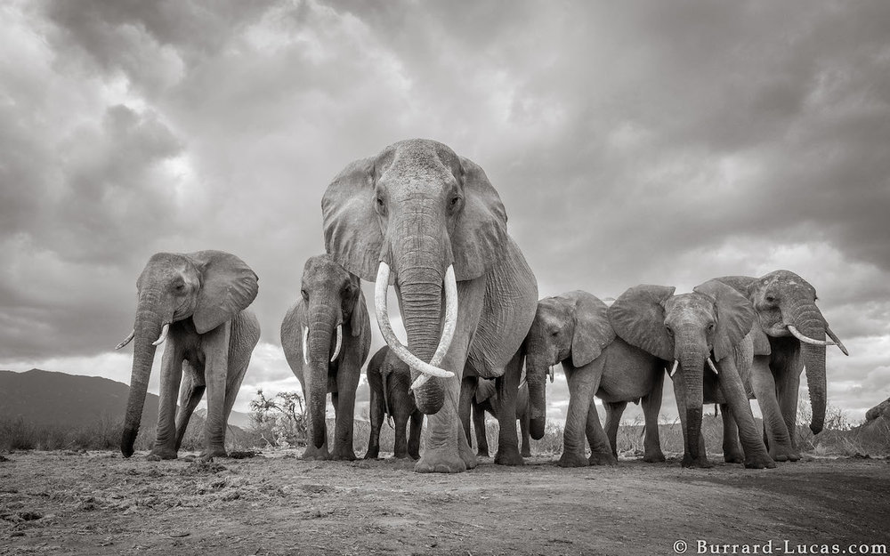 will-burrard-lucas-elephant-queen-land-of-giants-book- (12).jpg