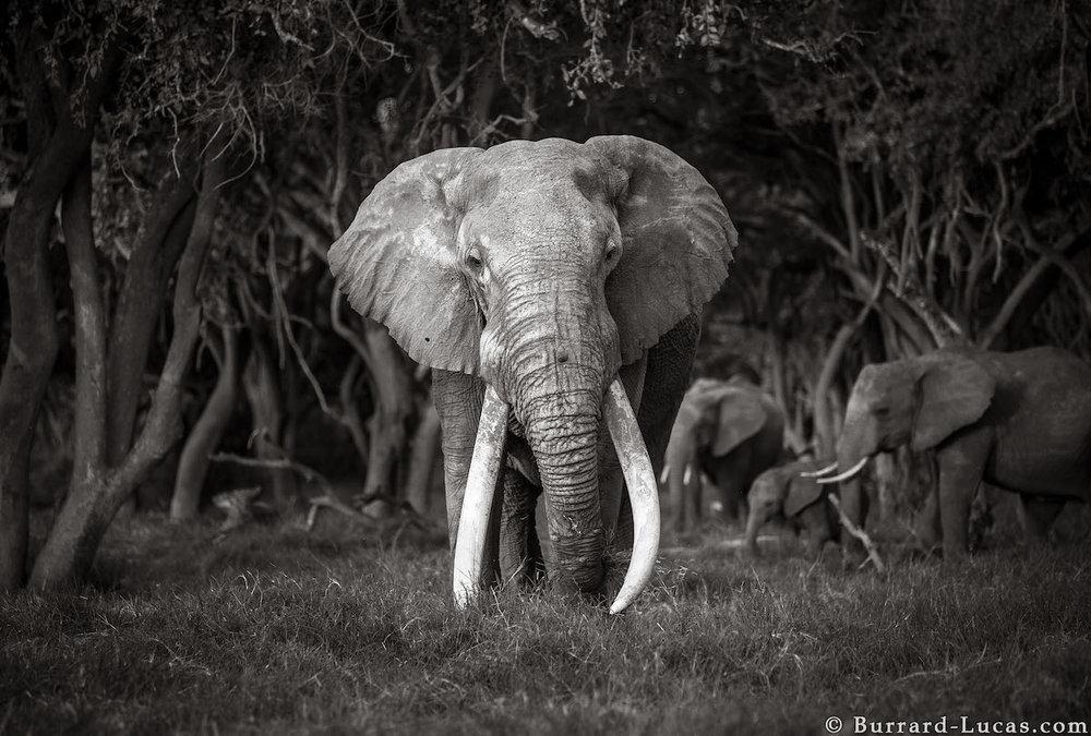 will-burrard-lucas-elephant-queen-land-of-giants-book- (13).jpg