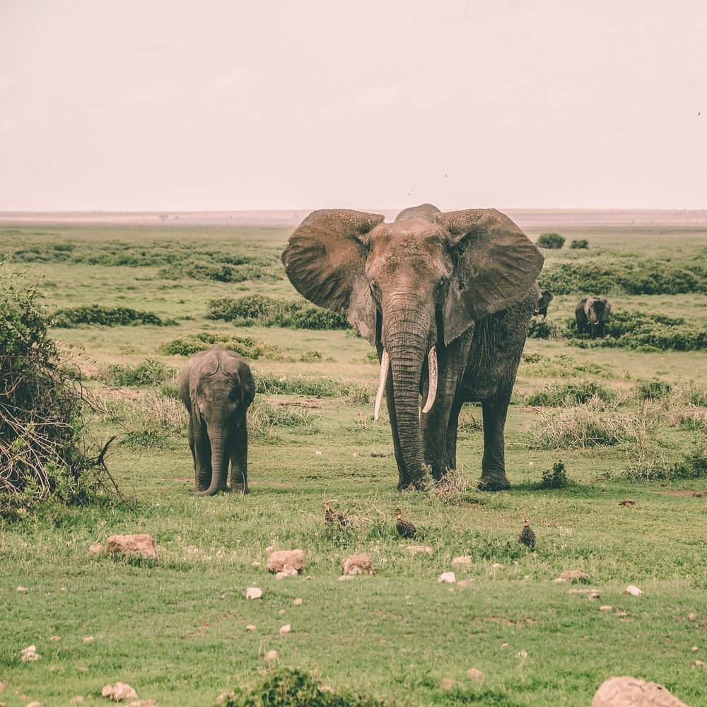 Amboseli National Park, Kenya Photo by  Harshil Gudka  on  Unsplash