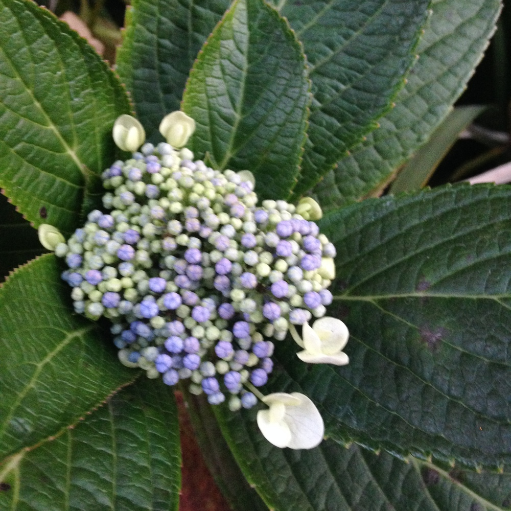 blue green hydrangea bud flowers