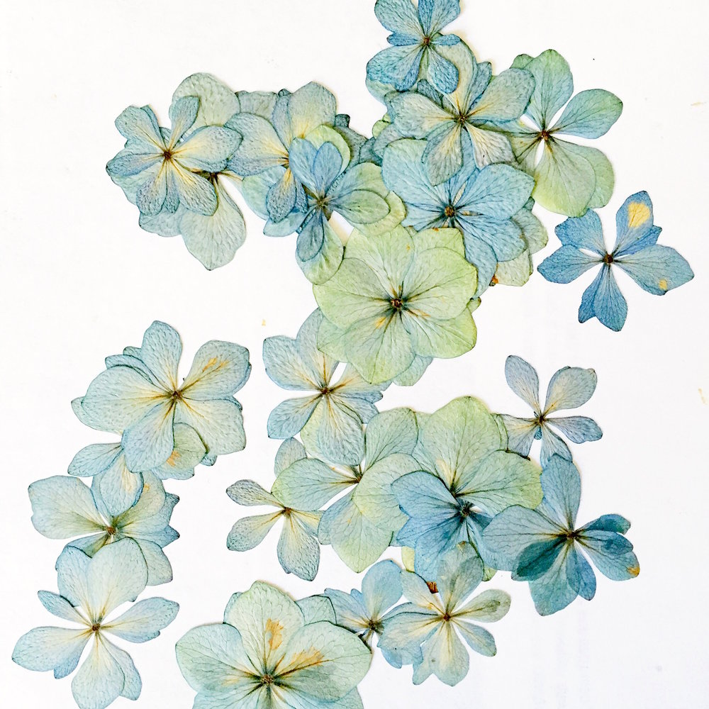 blue gold hydrangea mophead expression dried flowers