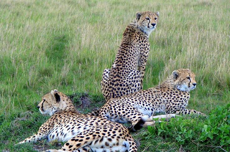 Kenya-Cheetahs.jpg