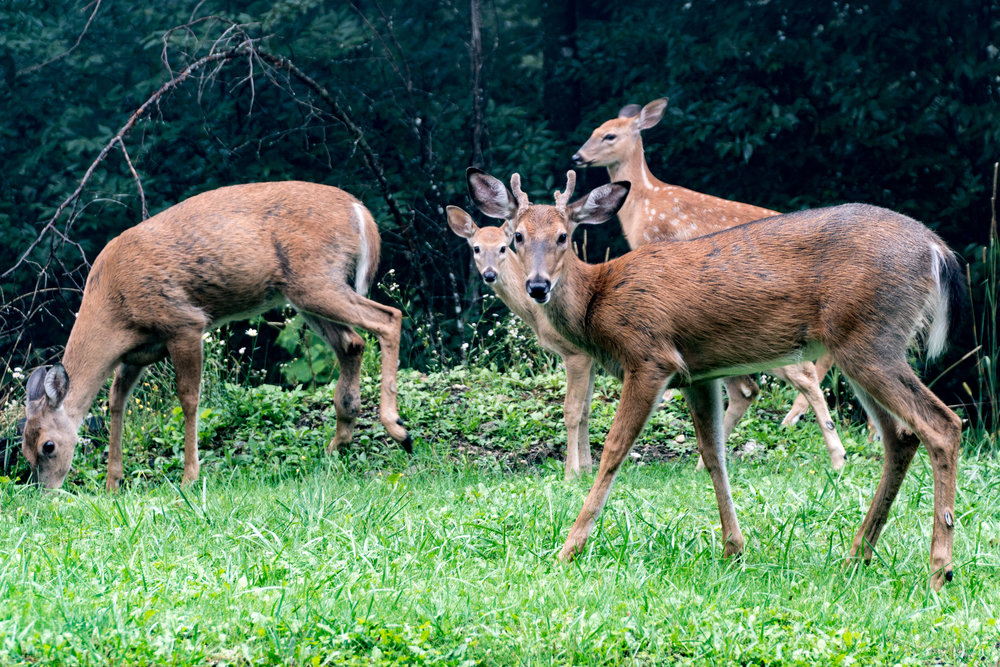 Beech Mountain Deer