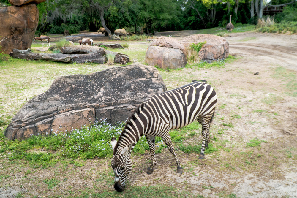 Zebras, Rhinos and Ostriches, Oh My!