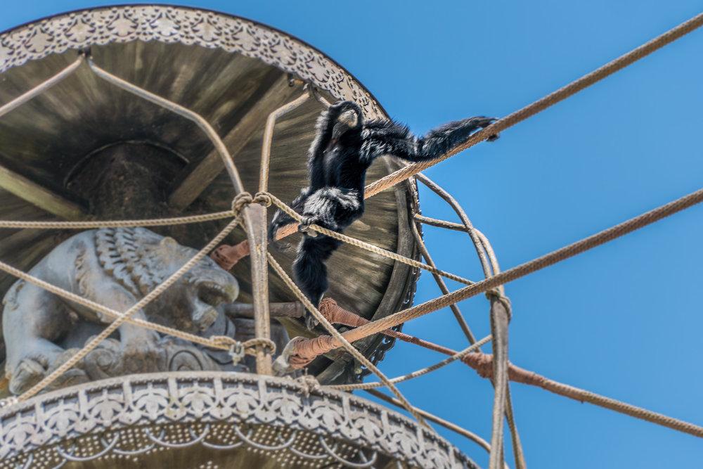 Lookout Monkey