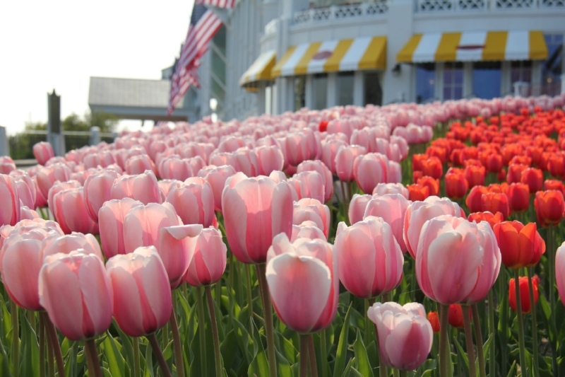 Tulips in front of The Grand Hotel