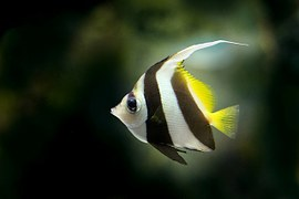angelfish-218086__180-2.jpg
