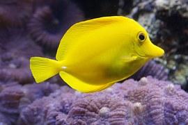 lemon-doktorfisch-793384__180.jpg