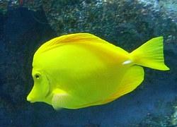 yellow-tang-585478__180.jpg