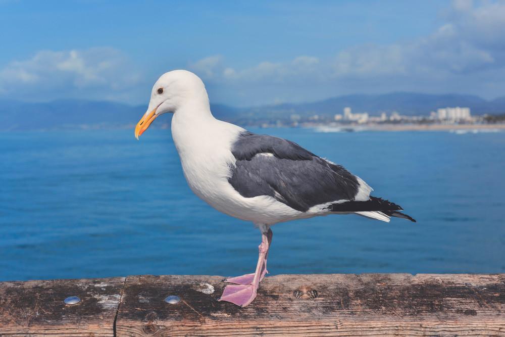 Gull on Pier.jpg
