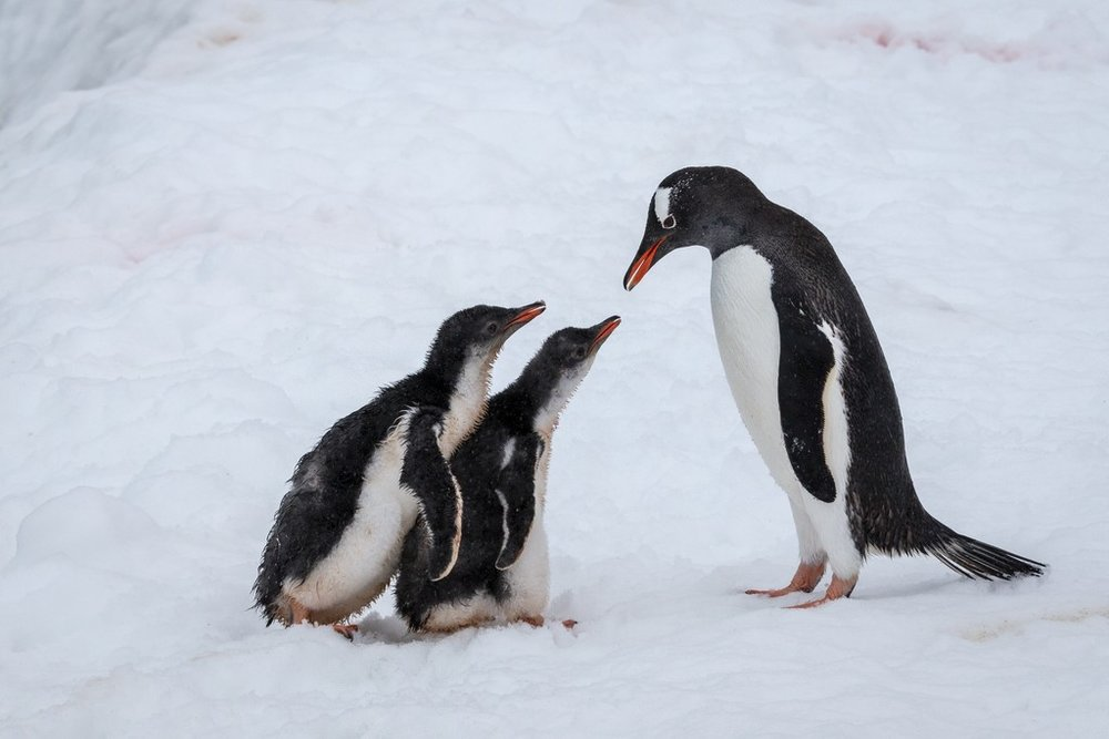Gentoo-Penguins-Damoy-Point-Antarctica-HGR-131333_1024.jpg