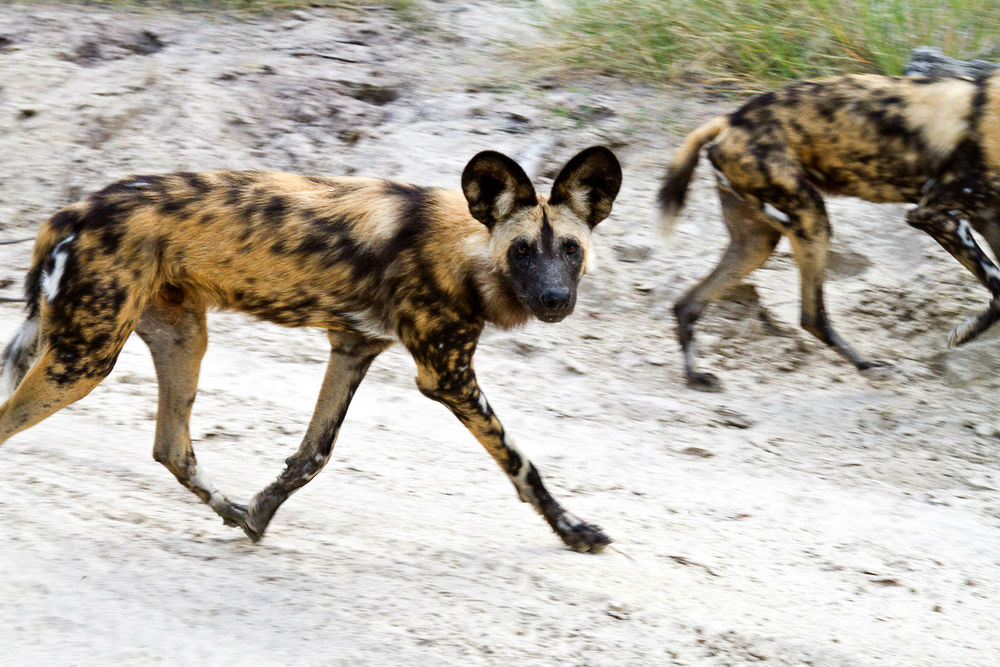 Painted hunting dogs. Photo: Oliver Schaef.