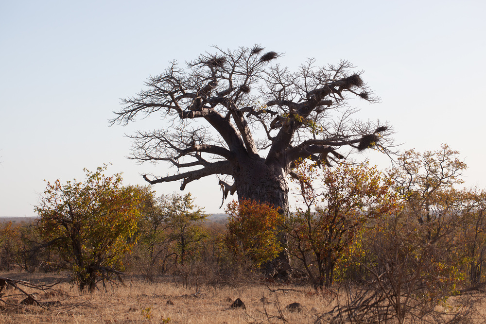 From beaches of Mozambique the journey continued via Maputo to South Africa and to Kruger National Park. Baobab tree is the landmark of Africa. It can be and is used for multiple purposes, e.g. the seeds full of vitamin C are edible, and the bark is used for rope and making baskets etc. An interesting details is that the baobab trees are pollinated by bats. Baobab trees live hundreds of years, and the oldest baobab is believed to be well over 1700 years. Most Africans believe that the God lives in baobab trees. Photo ©Lauri Soini