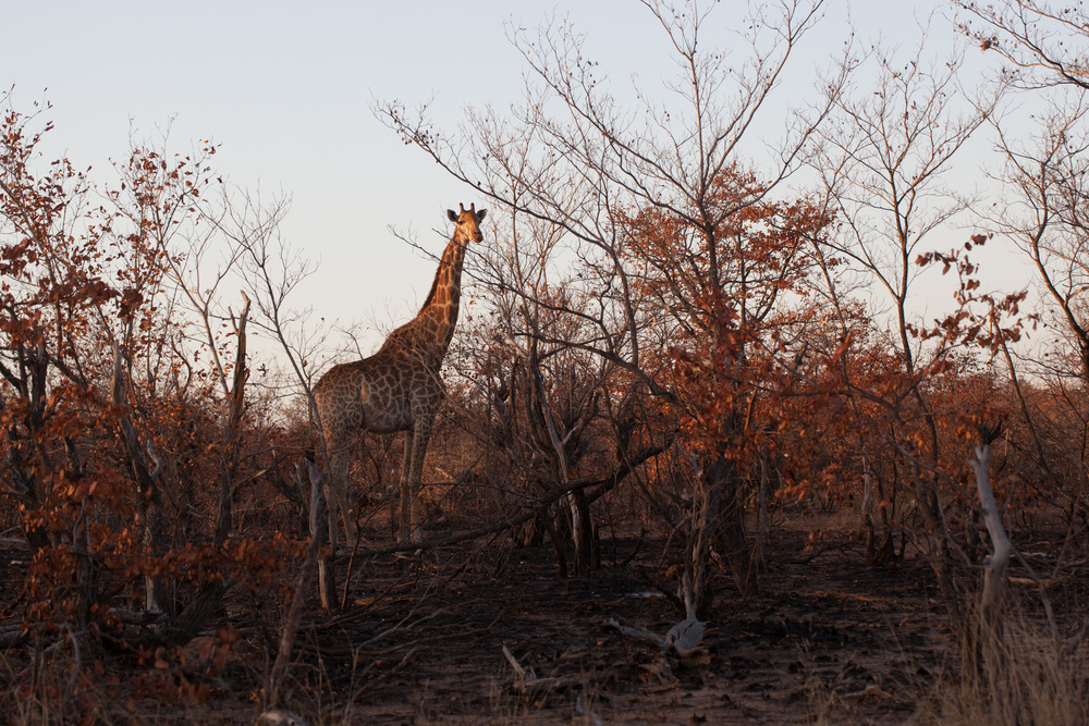 There are plenty of giraffes in Kruger Park, as they are successful in Africa in general. Giraffe is the tallest mammal on earth and they spend most of their lives standing up. Giraffes have the shortest sleep requirements of any mammal. With new age symbolism giraffe is a symbol for intuition and flexibility. Photo ©Lauri Soini