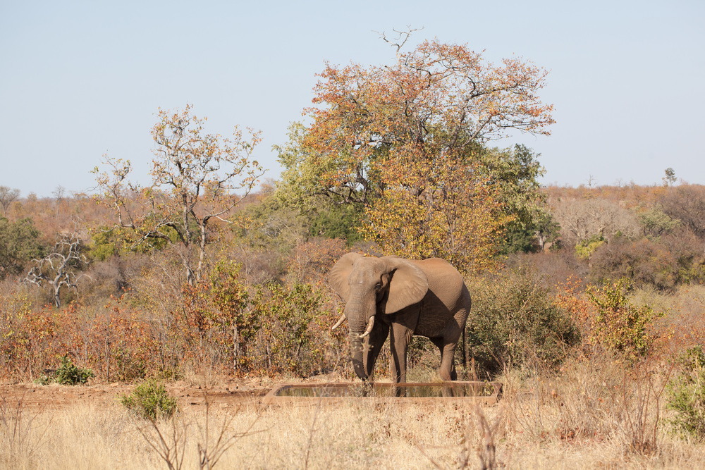 Kruger has a healthy elephant population. Elephants like fresh water to cool down when it's very hot. Did you know that elephants can be right-tusked or left-tusked like people are right-or left-handed. For this reason the other tusk can be more worn out than the other. Photo ©Lauri Soini