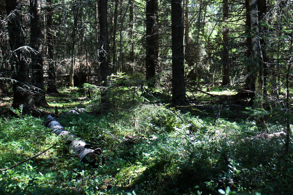 Forest here is in natural state. In late July also full of blueberries free to be picked.
