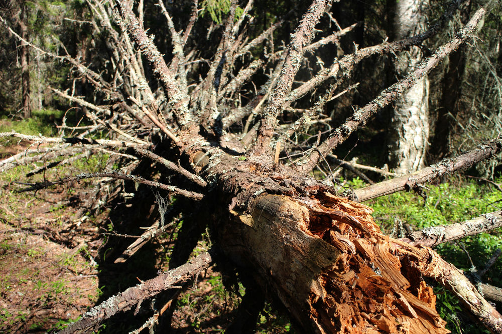 This picture of a fallen spruce was taken in early May. There was something attractive in the shape of this trunk with its dried and naked branches.