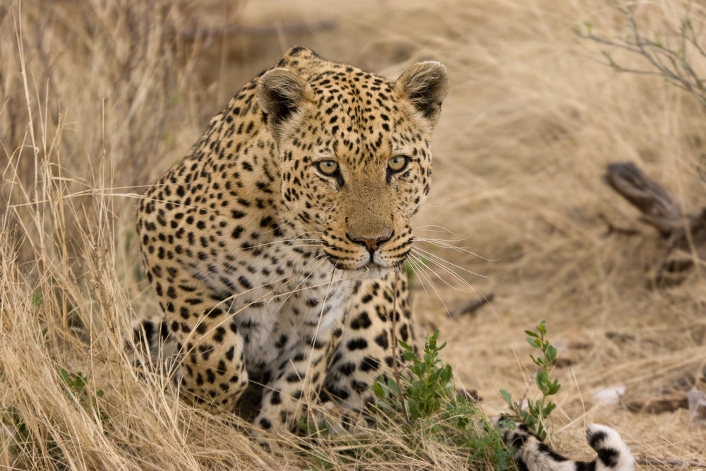 Leopard is very stealthy and well camouflaged, so sometimes it may be very difficult to spot in certain areas. The males have a rasping sound. Photo © Greg Willis/Flickr