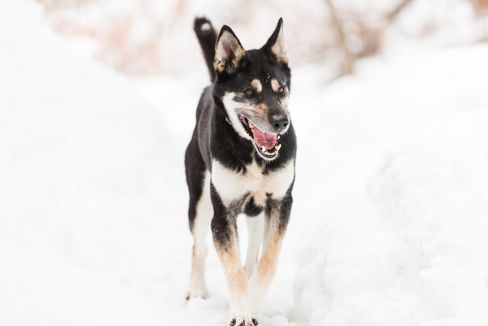 Shady-Pines-Sled-Dogs-48.jpg