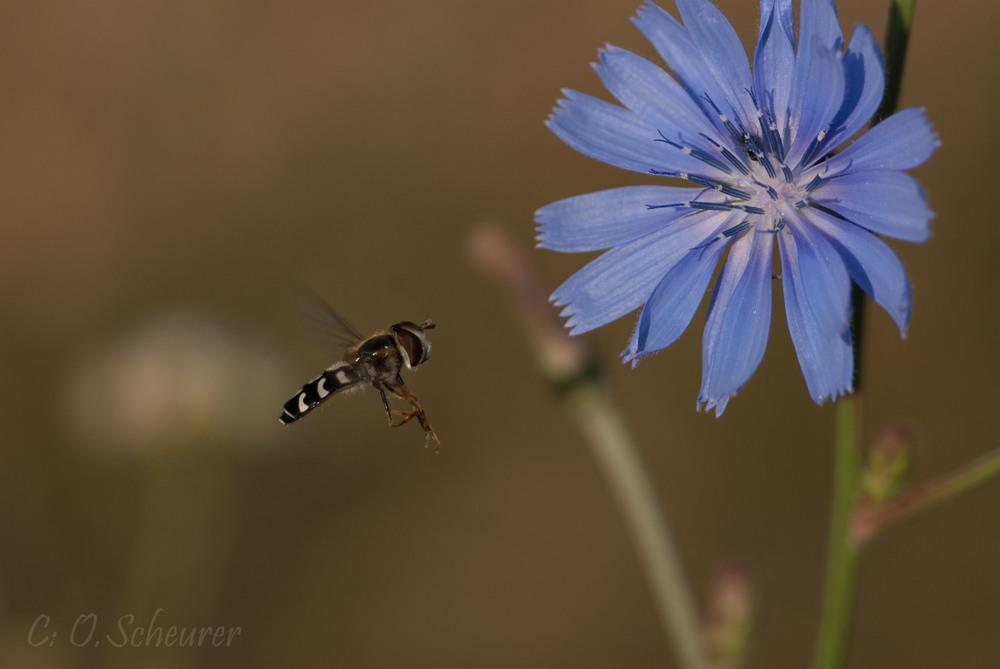 Syrphidae, Schwebfliege