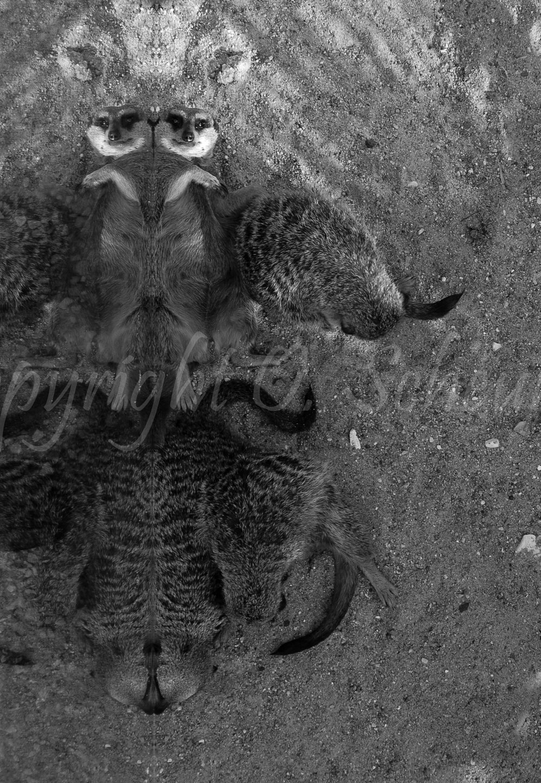 Suricata suricatta, Erdmännchen