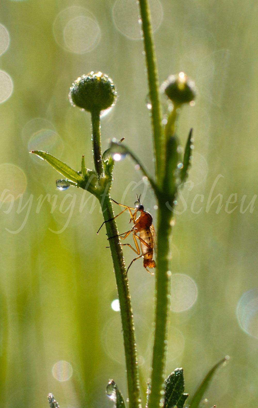 Asilidae, Fliege