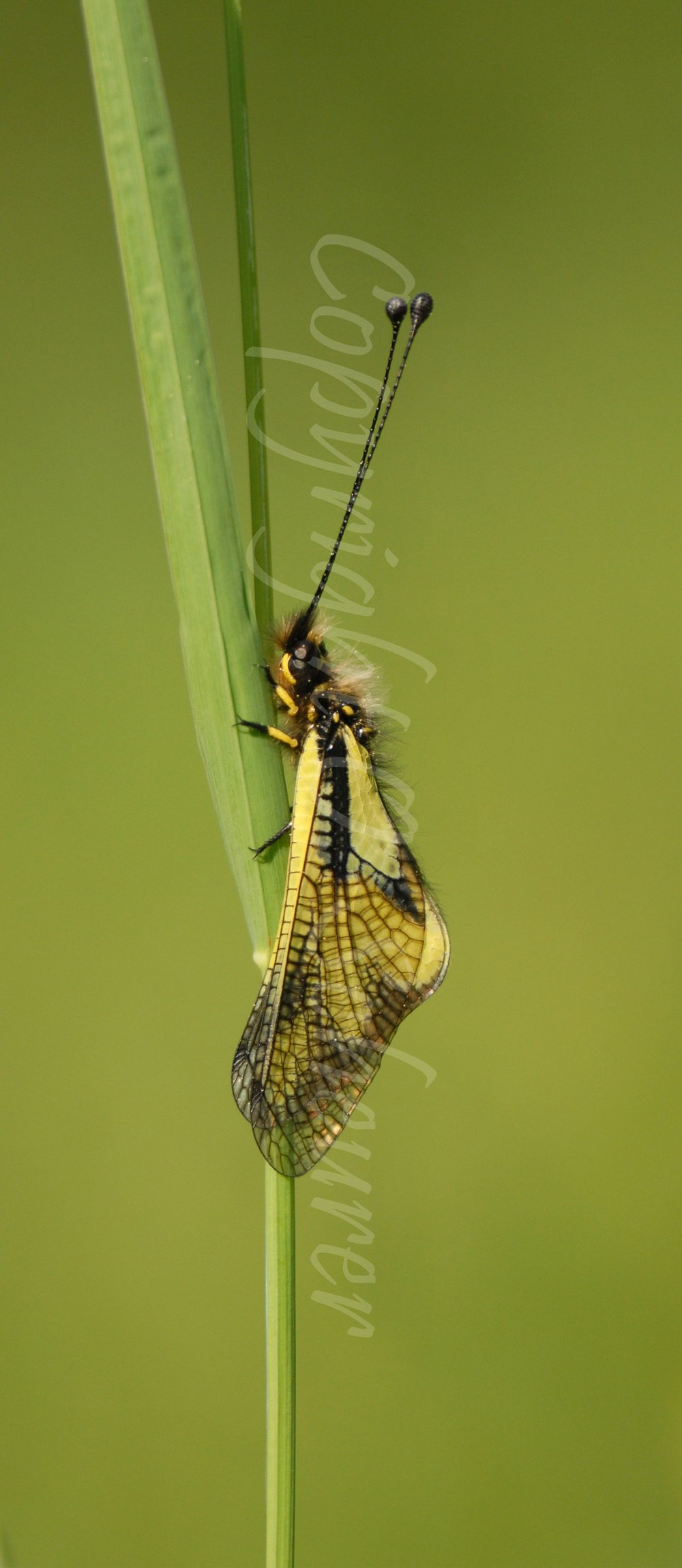Libelloides longicornis, Schmetterlingshaft