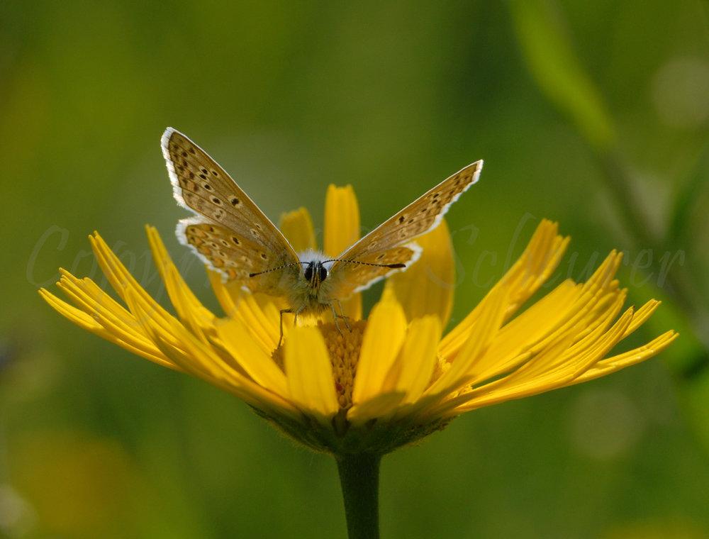 Lycaenidae, Bläuling
