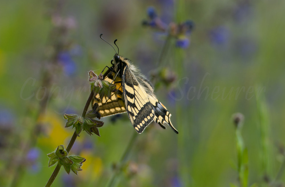 Papillo machaon, Schwalbenschwanz