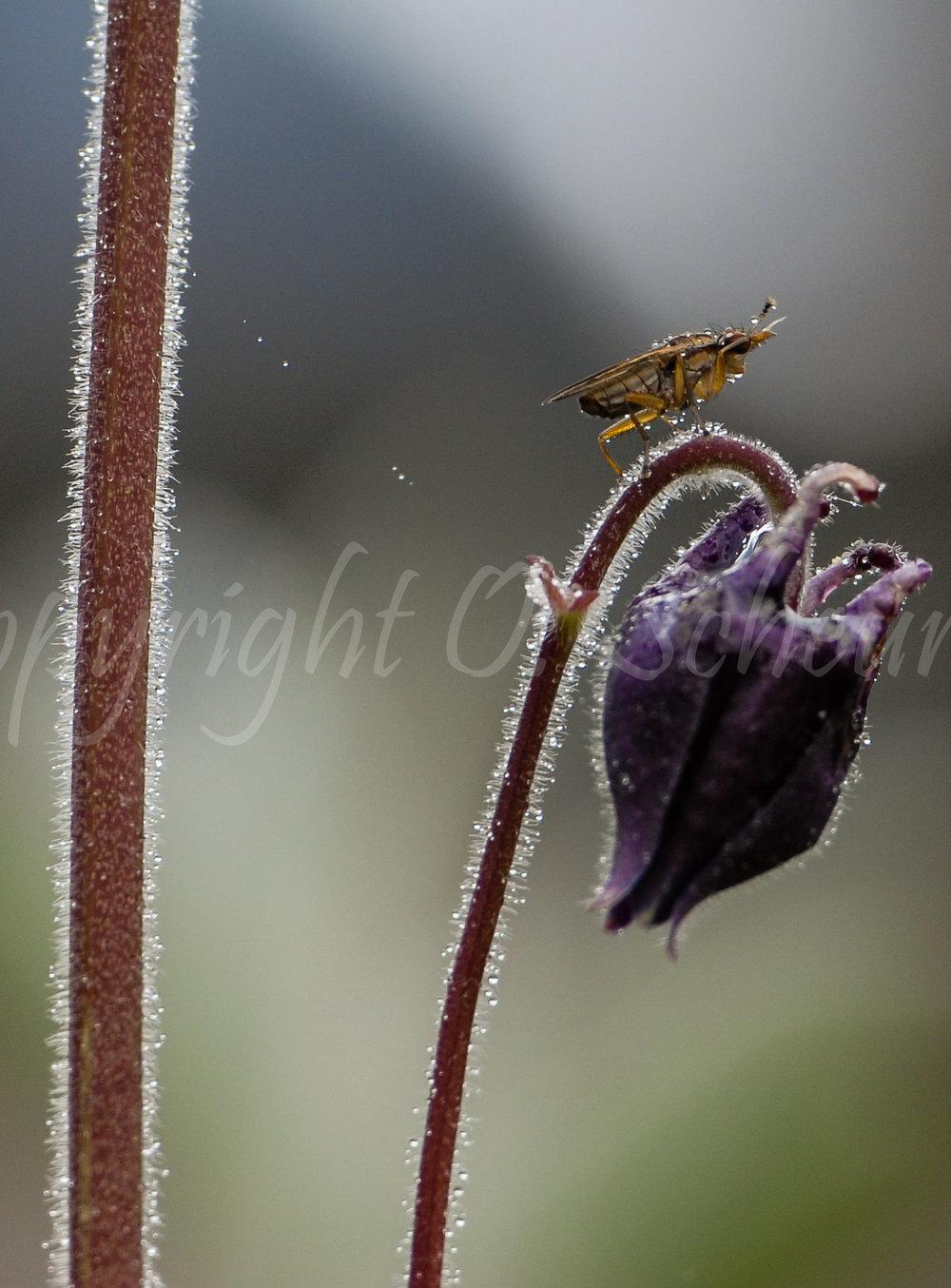 Syrphidae, Fliege