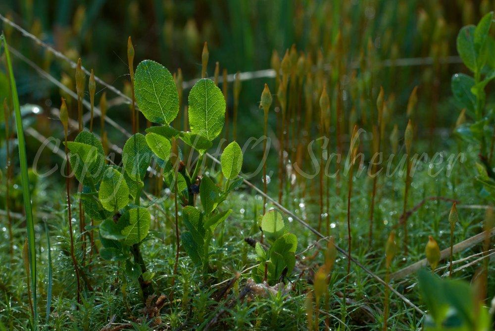 Vaccinium myrtillus, Heidelbeere