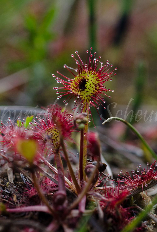 Drosera rotundifolia, Rundblättriger Sonnentau