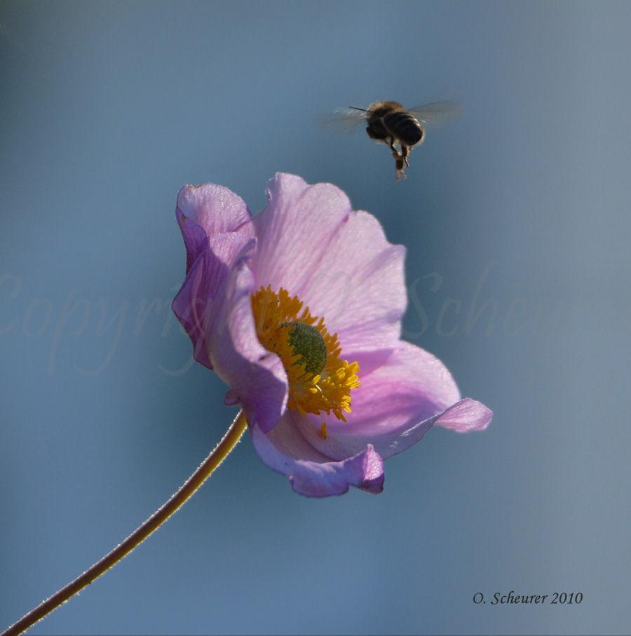 Apis mellifera, Westliche Honigbiene